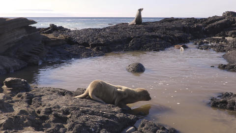 Galapagos Sea Lion cubs playful swimming in water on beach Galapagos Islands Live Action