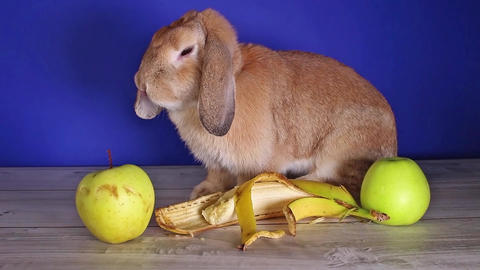 Rabbit dwarf lop bunny eating banana first time. Pet animal pets animals rabbits Live Action