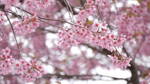 Sakura or cherry blossom tree Footage