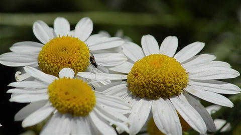Insect looking for pollen on yellow flowers with white petals 03 Footage