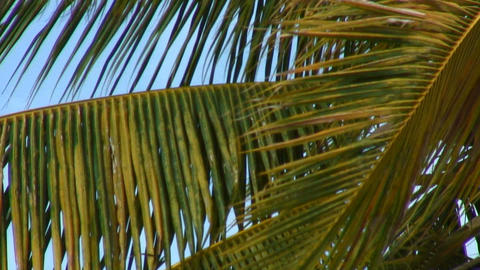 Close-up of green and yellow palm fronds in the wind in Hawaii Footage