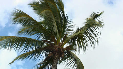 Shot of the top of a palm tree swaying in the wind in Hawaii Footage