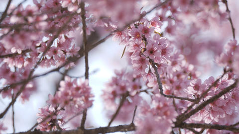 Sakura flowers blossoming spring at park Footage