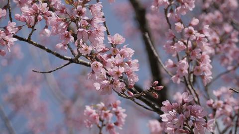 Sakura tree in springtime Footage