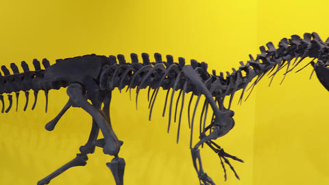 Dinosaur Allosaurus skeleton close up. Allosaurus is a genus of carnivorous Live Action