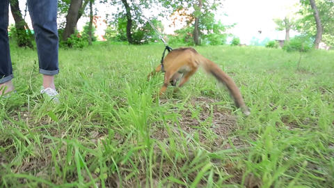 Home Fox on a leash 005 Stock Video Footage