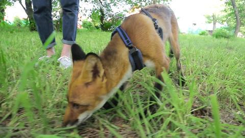 Home Fox on a leash 005 Footage