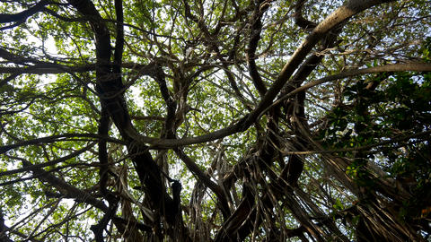 Twisted lianas on wet exotic plants and trees in wilderness of dense rainforest Footage