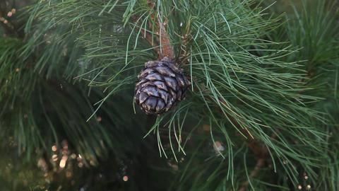 Cedar cone grows on a branch 001 ビデオ