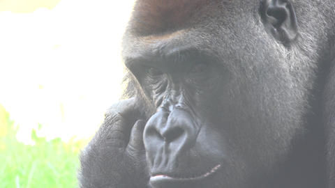 C0122 ugly wild gorilla Footage