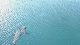 Stellar sea lions playing in Alaskan waters Footage