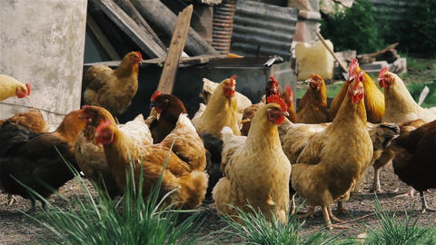 Chickens On The Farm Stock Video Footage