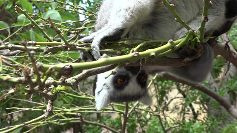C0078 hungry lemur eating in tree Footage