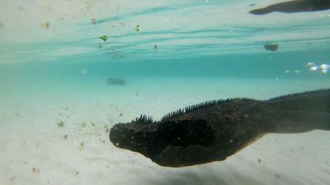Animals on Galapagos - Marine Iguana swimming underwater on Santa Cruz Island Footage