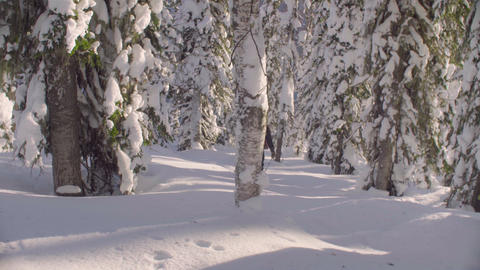 Skitour in Siberia. A man skiing in a snowy forest Live Action