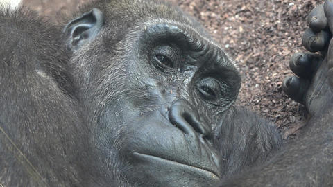 C0114 ugly tired adult gorilla Footage