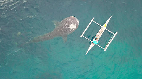 Whale shark eating fish whale feeding from boat in open... Stock Video Footage