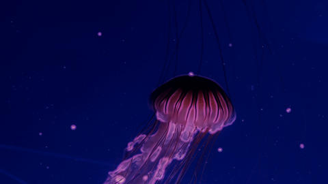 Red glowing jellyfish moving in the dark blue water GIF