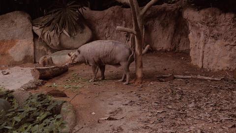 Babirusa In His Habitat Enclosure In A Popular Public Zoo in 4K Footage