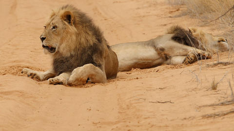 Male black maned male lions resting and looking, Kalahari desert, Botswana Live Action