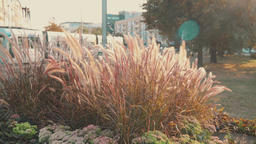 Decorative grass in the city Footage