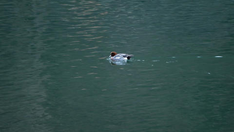 Swimming Duck in the water Stock Video Footage