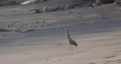 Tiger Heron hunting off a beach in Costa Rica Live Action