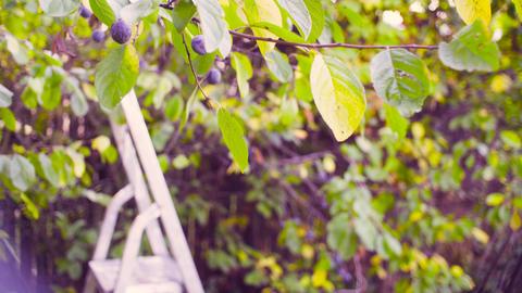 Autumn in a garden. Stepladder near the plum tree Footage