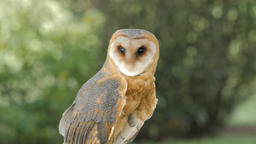 Tyto alba. Barn owl. Bird of prey Live Action
