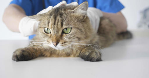 Vet checks the health of cat in veterinary clinic Footage