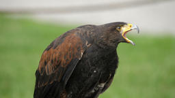 Harris's hawk portrait. Parabuteo unicinctus. Bird of prey Live Action