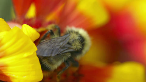 Bumblebee at work Stock Video Footage