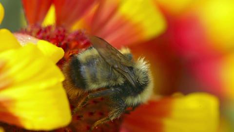 Bumblebee at work Footage