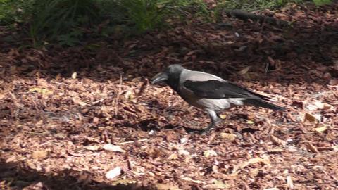 crow autumn park Stock Video Footage