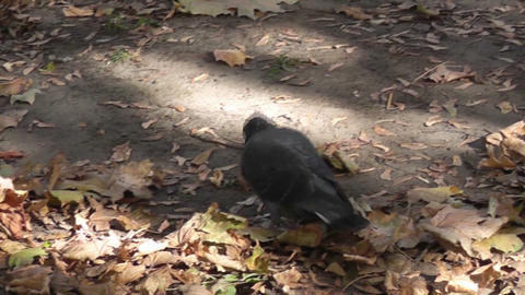 pigeons autumn park Stock Video Footage