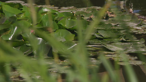 Lily pads floating in a pond Footage