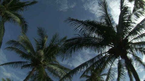 Palm tree tops and a blue sky ビデオ