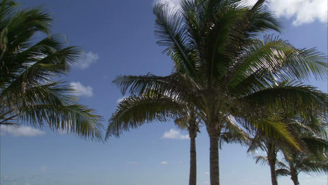 Palm trees on a windy day against a blue sky Live Action