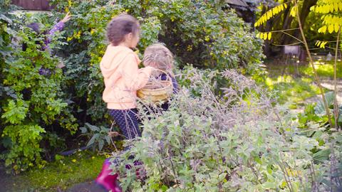 Three girls collecting wild rose berries in a garden Footage