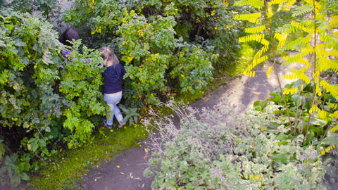 Three girls collecting wild rose berries in a garden Stock Video Footage