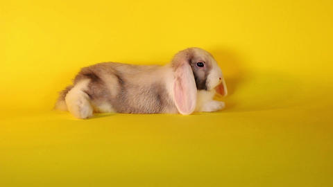 Resting lop rabbut bunny kit bun on yellow background Live Action
