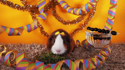 Animal party pet party cute guinea pig cavy celebrate celebrating new year Footage