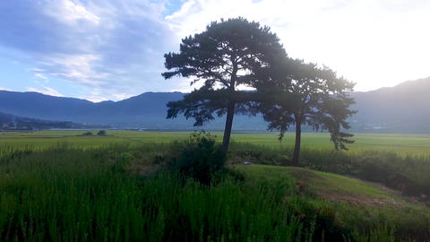 Husband and Wife Tree in Akyang Rice Paddy Field, Hadong, Gyeongsangnamdo, South Live Action