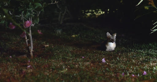 Rare shot of the Costa Rica Gray Fox at night, Live Action