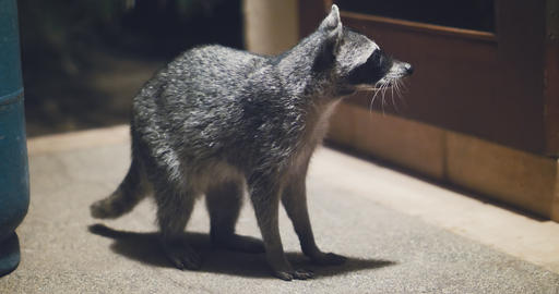 Raccoon (Procyon lotor) scavenging for food at night Footage