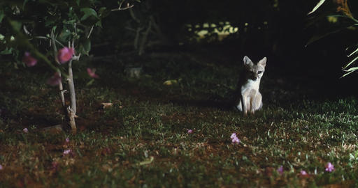 Rare shot of the Costa Rica Gray Fox at night Footage