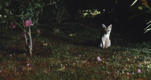 Rare shot of the Costa Rica Gray Fox at night Stock Video Footage