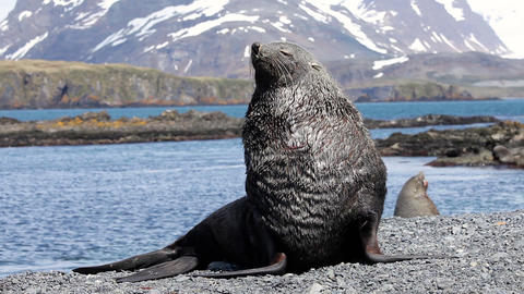 Fur Seal on South Georgia Isaland Footage