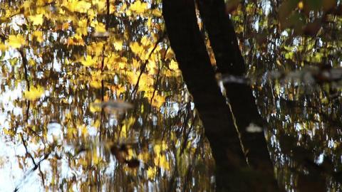 Maple tree water ripple ライブ動画