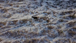 Moose grazing on the Alaskan tundra Footage